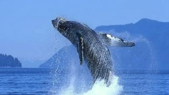 Whale Watching Season Makes a Splash in Puerto Vallarta